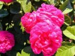 trandafiri rosa damascena 2